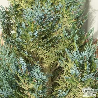 Buy Chamaecyparis lawsoniana Columnaris online from Jacksons Nurseries