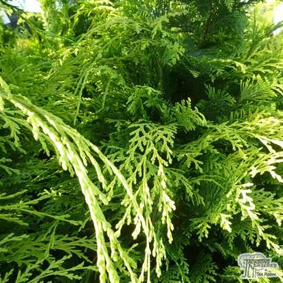 Buy Chamaecyparis lawsoniana Stardust online from Jacksons Nurseries