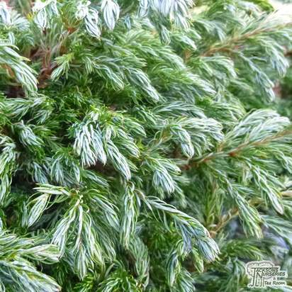 Buy chamaecyparis pisifera Boulevard online from Jacksons Nurseries