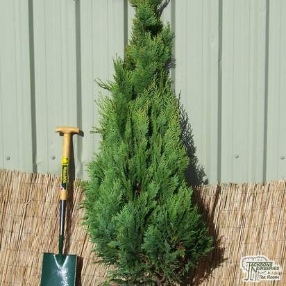 Buy Chamaecyparis lawsoniana Alumigold online from Jacksons Nurseries