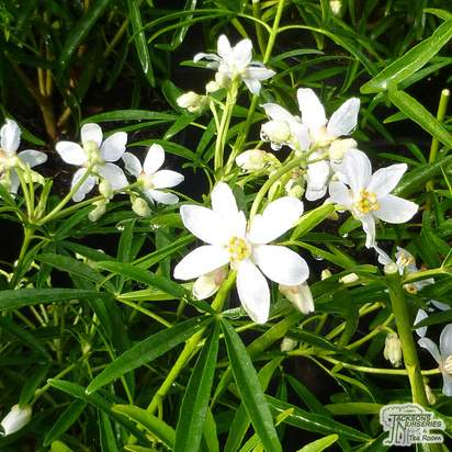 Buy Choisya x dewitteana Aztec Pearl (Mexican Orange Blossom) online from Jacksons Nurseries