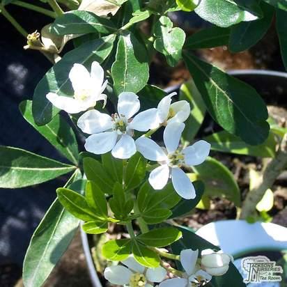 Buy Choisya ternata (Mexican Orange Blossom) online from Jacksons Nurseries