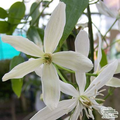Buy Clematis armandii online from Jacksons Nurseries