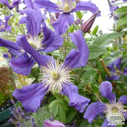 Buy Clematis Blue Pirouette online from Jacksons Nurseries
