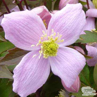 Buy Clematis Elizabeth online from Jacksons Nurseries