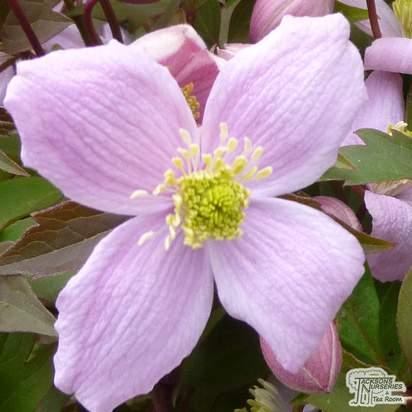 Buy Clematis Elizabeth online from Jacksons Nurseries