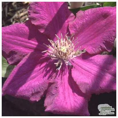 Buy Clematis Ernest Markham online from Jacksons Nurseries