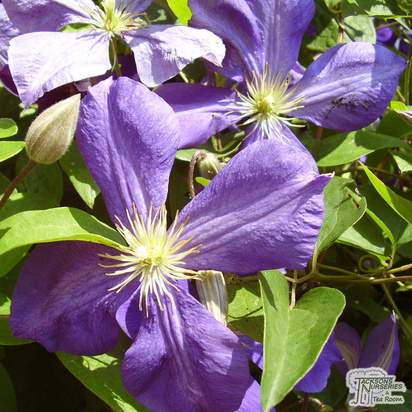Buy Clematis Jackmanii online from Jacksons Nurseries