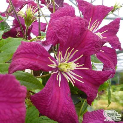 Buy Clematis Madame Julia Correvon online from Jacksons Nurseries