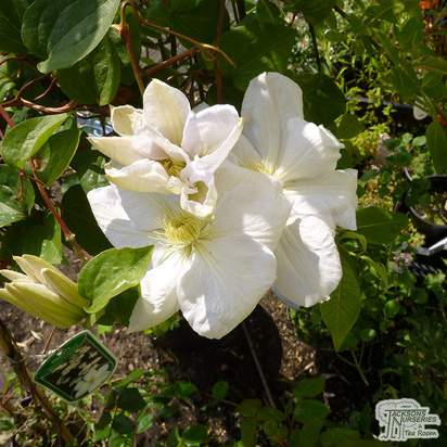 Buy Clematis Mevrouw Le Coultre online from Jacksons Nurseries