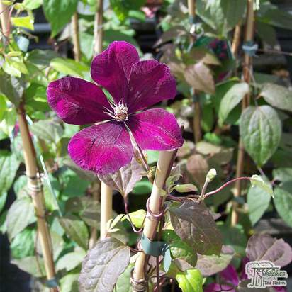 Buy Clematis Rouge Cardinal online from Jacksons Nurseries