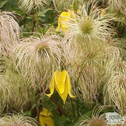 Buy Clematis tangutica online from Jacksons Nurseries