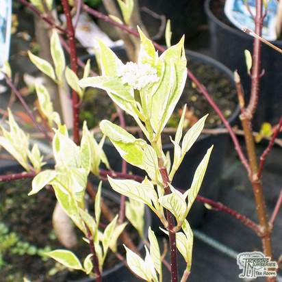Buy Cornus alba Spaethii (Red-barked Dogwood) online from Jacksons Nurseries
