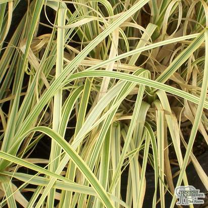 Buy Cortaderia selloana Splendid Star (Pampas Grass) online from Jacksons Nurseries