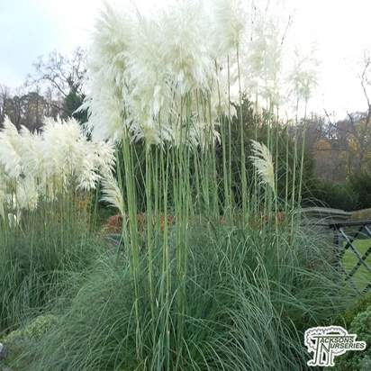 Buy Cortaderia selloana (White Pampas Grass) online from Jacksons Nurseries
