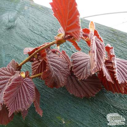 Buy Corylus maxima Purpurea (Purple Hazel) online from Jacksons Nurseries