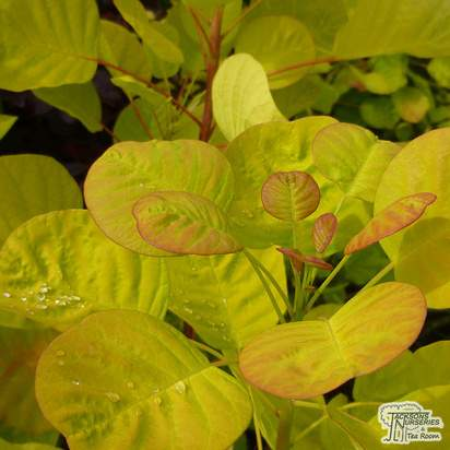 Buy Cotinus coggygria Golden Spirit (Smoke Bush) online from Jacksons Nurseries