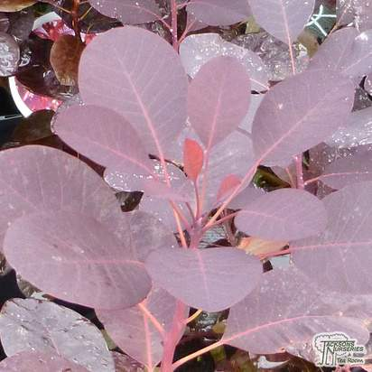 Buy Cotinus coggygria Royal Purple (Smoke Bush) online from Jacksons Nurseries