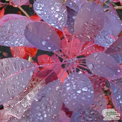 Buy Cotinus coggygria Royal Purple (Smoke Bush) online from Jacksons Nurseries