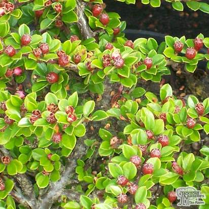 Buy Cotoneaster horizontalis (Fish Bone Cotoneaster) online from Jacksons Nurseries