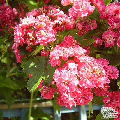 Buy Crataegus laevigata Rosea Flore Pleno (Midland Hawthorn) online from Jacksons Nurseries