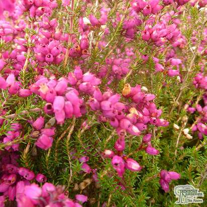 Buy Erica cinerea 'Atrorubens' (Winter Heath Heather) online from Jacksons Nurseries
