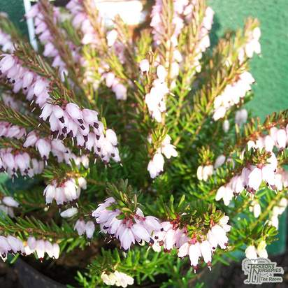 Buy Erica x darleyensis Darley Dale (Heather) online from Jacksons Nurseries