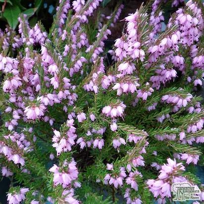 Buy Erica x darleyensis Ghost Hills (Darley Dale Heath Heather) online from Jacksons Nurseries