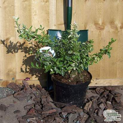 Buy Euonymus fortunei Harlequin (Evergreen Bittersweet) online from Jacksons Nurseries