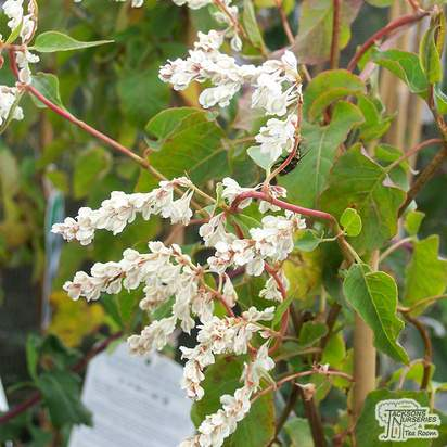 Buy Fallopia baldschuanica aubertii online from Jacksons Nurseries