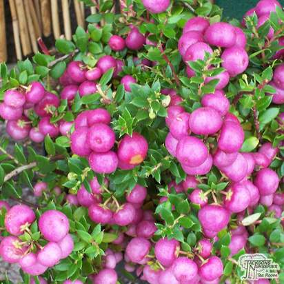 Buy Gaultheria mucronata Rosea (Female Prickly Heath (Pernettya)) online from Jacksons Nurseries