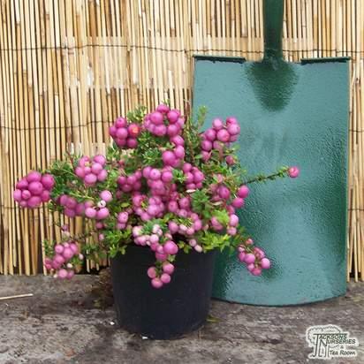 Buy Gaultheria mucronata Rosea (Female Prickly Heath (Pernettya)) online from Jacksons Nurseries