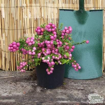 Buy Gaultheria mucronata Rubra (Female Prickly Heath (Pernettya)) online from Jacksons Nurseries