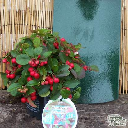 Buy Gaultheria procumbens (Checkerberry) online from Jacksons Nurseries