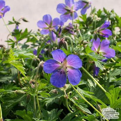 Buy Geranium Johnson's Blue (Cranesbill) online from Jacksons Nurseries