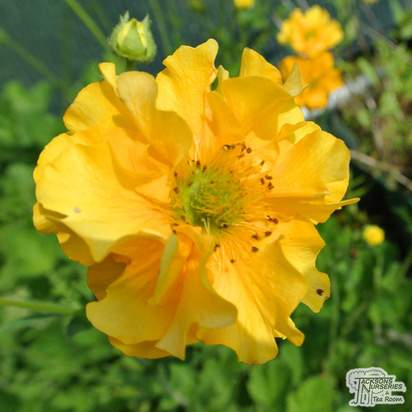 Buy Geum Lady Stratheden online from Jacksons Nurseries