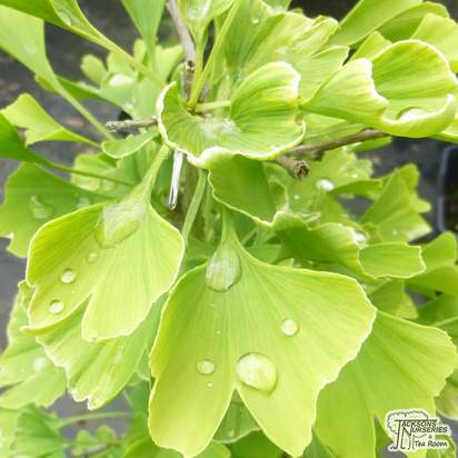 Buy ginkgo Biloba online from Jacksons Nurseries