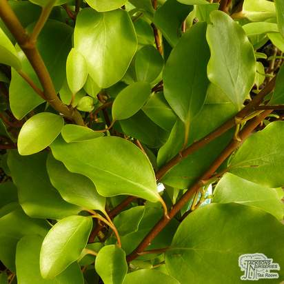 Buy Griselinia littoralis (New Zealand broadleaf) online from Jacksons Nurseries