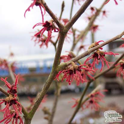 Buy Hamamelis x intermedia Diane (Hybrid Witch Hazel) online from Jacksons Nurseries