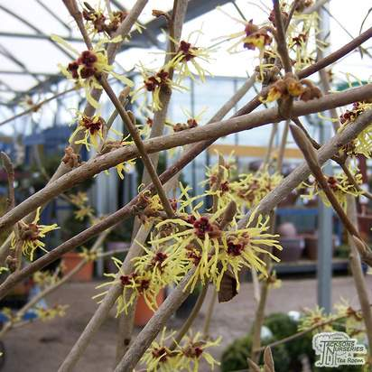 Buy Hamamelis x intermedia Pallida (Witch Hazel) online from Jacksons Nurseries