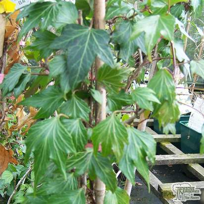Buy Hedera helix Green Ripple online from Jacksons Nurseries