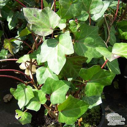 Buy Hedera hibernica online from Jacksons Nurseries