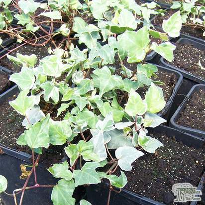 Buy Hedera helix Glacier online from Jacksons Nurseries
