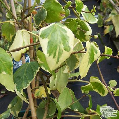 Buy Hedera colchica Dentata Variegata online from Jacksons Nurseries
