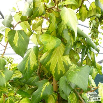 Buy Hedera colchica Sulphur Heart online from Jacksons Nurseries