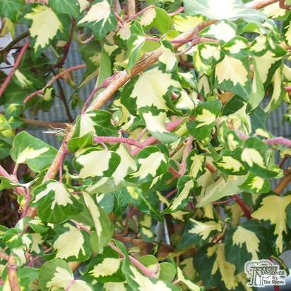 Buy Hedera helix Goldheart online from Jacksons Nurseries