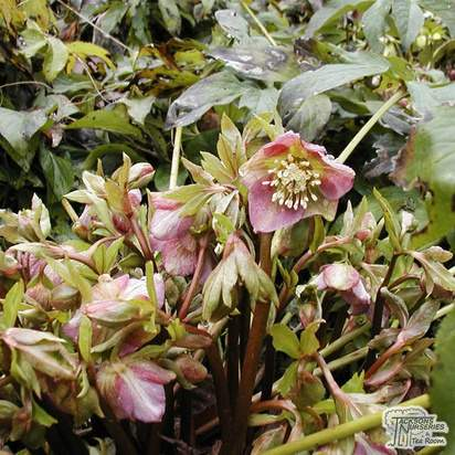 Buy Helleborus x hybridus (Lenten Rose) online from Jacksons Nurseries