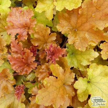 Buy Heuchera Marmalade online from Jacksons Nurseries