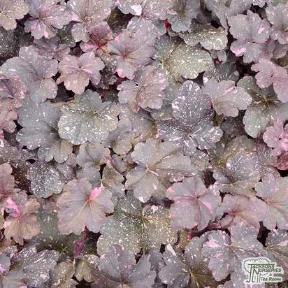 Buy Heuchera Midnight Rose online from Jacksons Nurseries
