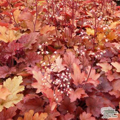 Buy Heuchera Peach Flambe (Coral Bells Peach Flambe) online from Jacksons Nurseries